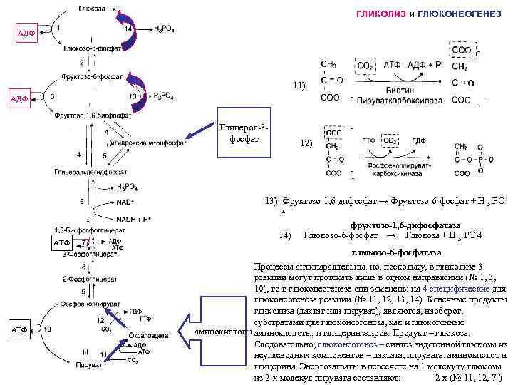 Разница между гликогенолизом и глюконеогенезом - разница между - 2020