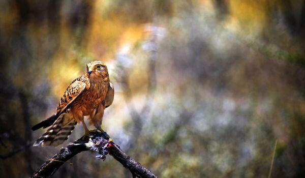 Птица сапсан (falco peregrinus): описание, виды, размножение, фото