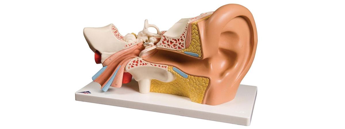 Что такое ухо