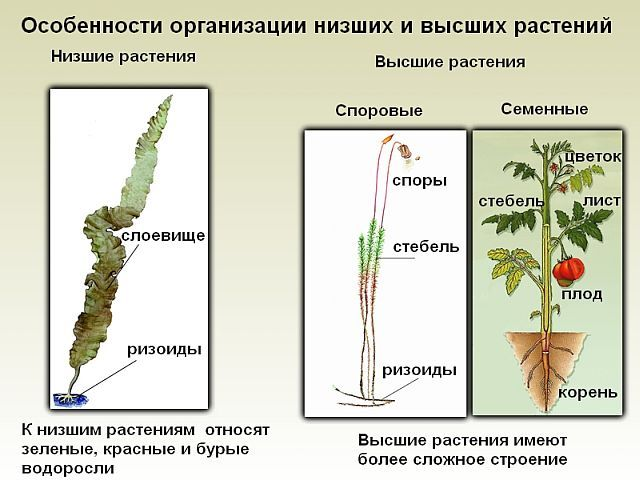 Низшие растения - сайт по биологии