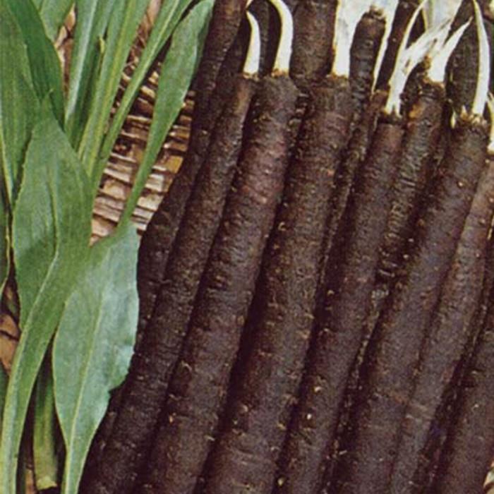 Скорцонер - полезные свойства, выращивание, уход и хранение