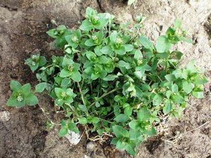 Трава мокрица (звездчатка средняя): лечебные свойства, показания и рецепты приготовления