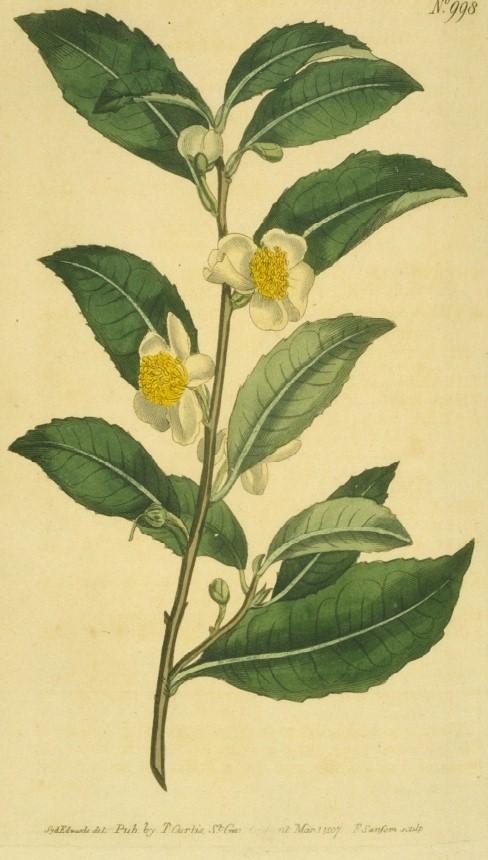 Как ферментировать иван-чай, душицу и другие растения