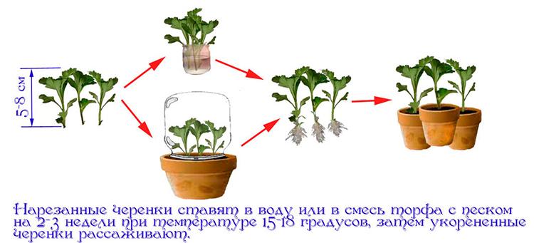 Черенок – что это, и как с его помощью размножать растения