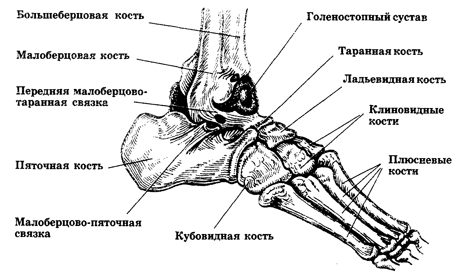 Где находится лодыжка у человека? фото и схема скелета ноги