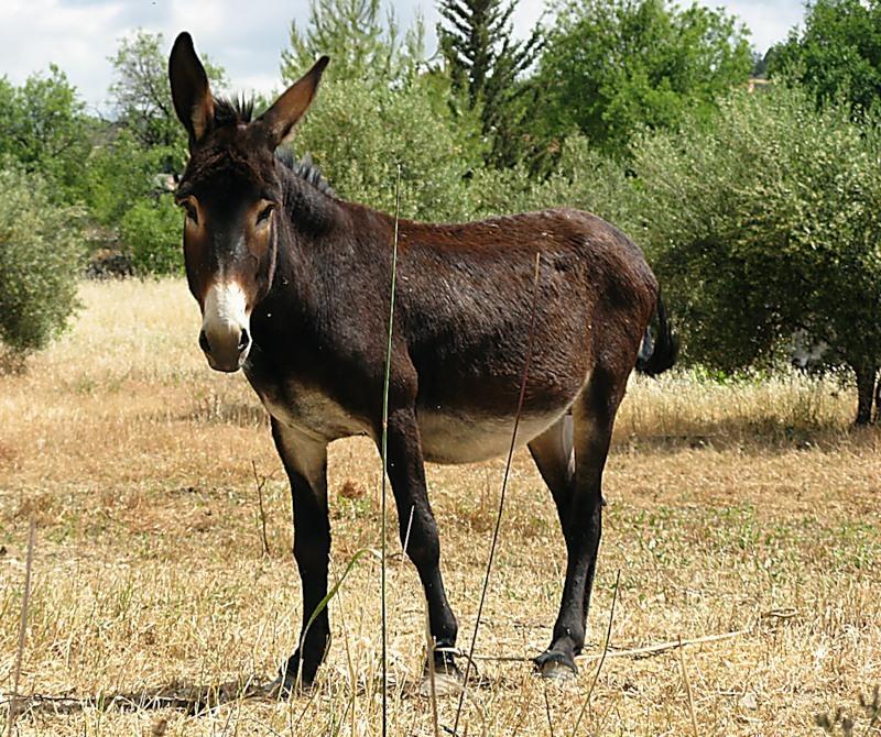 Домашний осёл и ишак — чем отличается ишак от осла