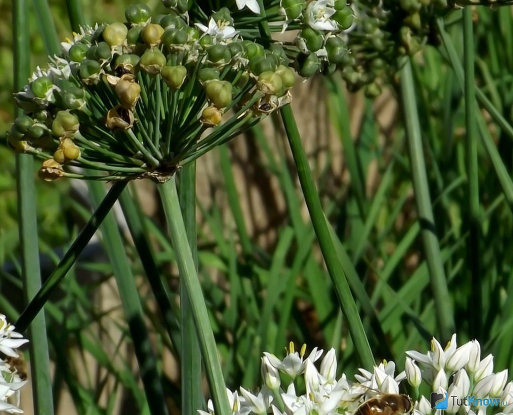 Как вырастить джусай из семян. что такое джусай, какие полезные свойства он имеет, рецепты из джусая. как ухаживать за растением