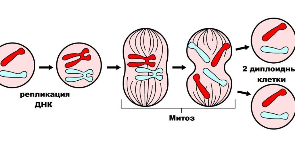 Деление клеток - митоз (непрямое) и мейоз (прямое).