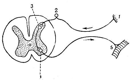 Рефлекторная дуга строение, части и их функции, виды, общая схема, последовательность прохождения нервного импульса по дуге, примеры дуг и рефлексов - помощник для школьников спринт-олимпик.ру