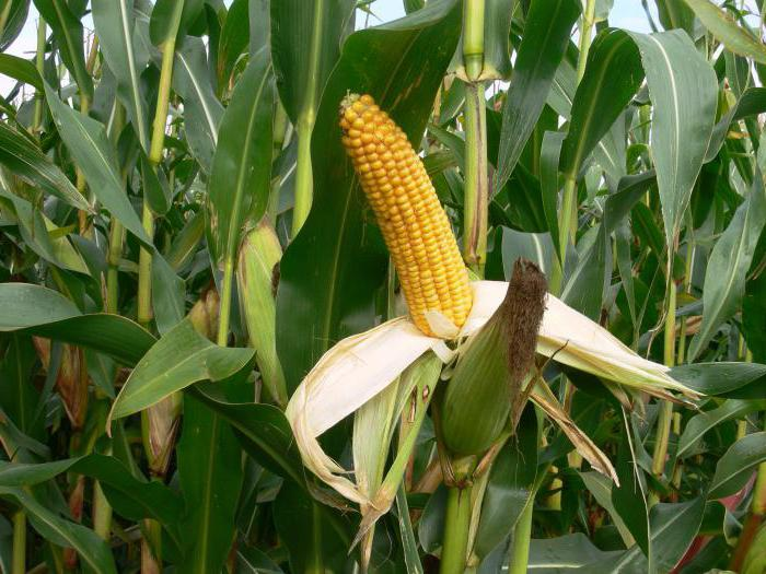 Кукуруза — википедия с видео // wiki 2