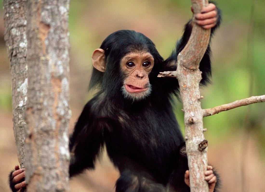50 интересных  фактов  про  обезьян — общенет