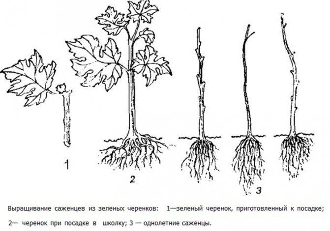 Черенкование - отличный способ размножить любимые растения