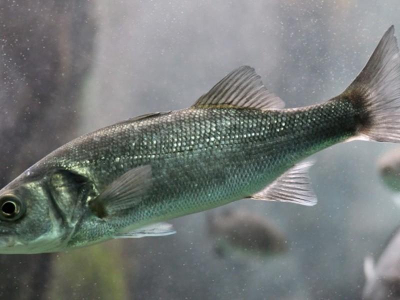 Рыба сибас (лаврак): места обитания и секреты удачной рыбалки
