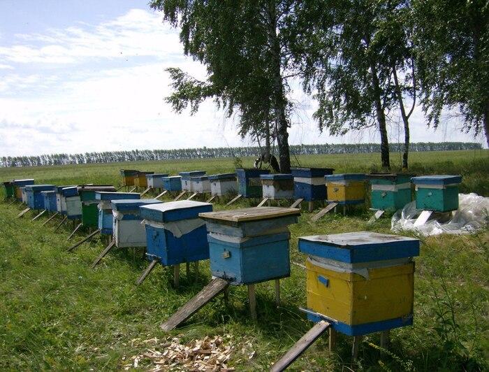 Пчеловодство с нуля: разновидность пчел и обустройство пасеки