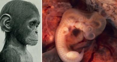 Эмбрион — википедия