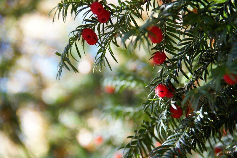Тис ягодный — википедия. что такое тис ягодный