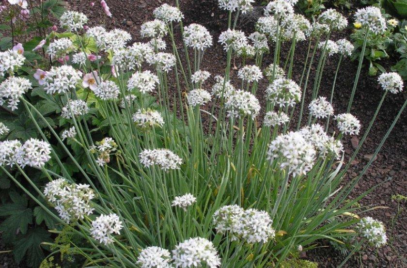 Что такое джусай: какими полезными свойствами он обладает, выращивание горного лука, рецепты приготовления