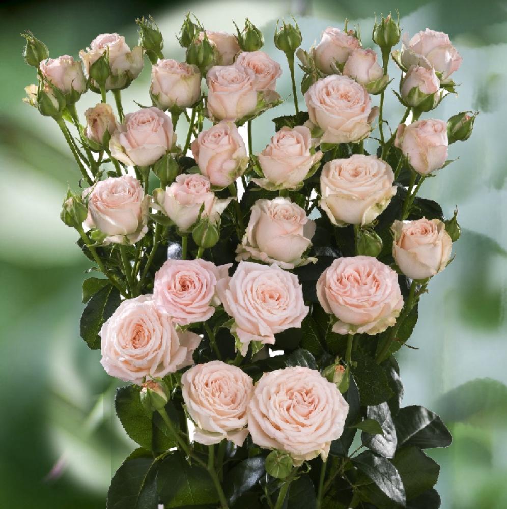 Оригинальные бордюрные розы спрей. фото и описание сортов, особенности выращивания