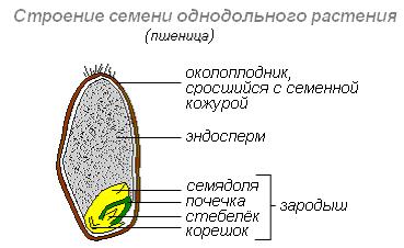 Эндосперм - это запасное питательное вещество семян растений
