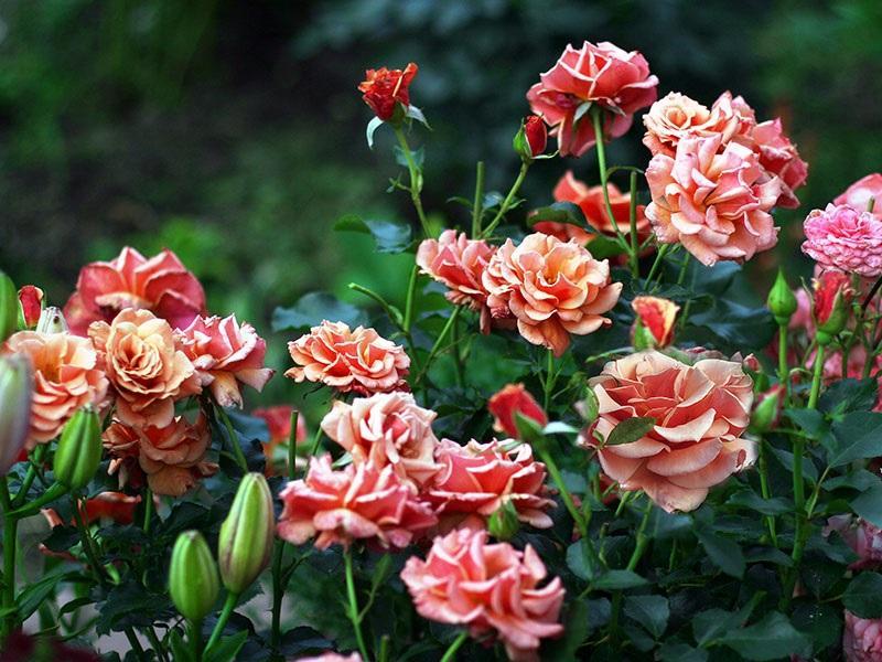 Роза флорибунда: фото и описание популярных сортов, особенности посадки и ухода в открытом грунте, размножение