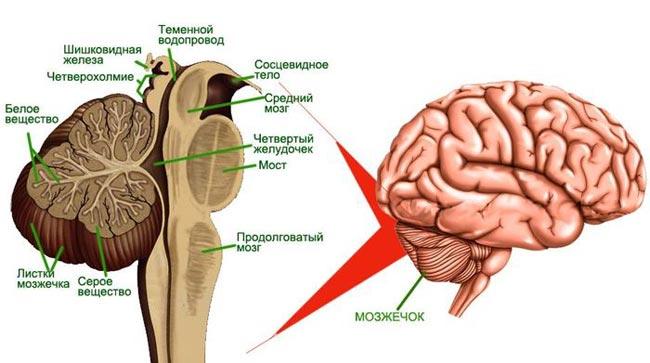 Мозжечок головного мозга человека и его функции