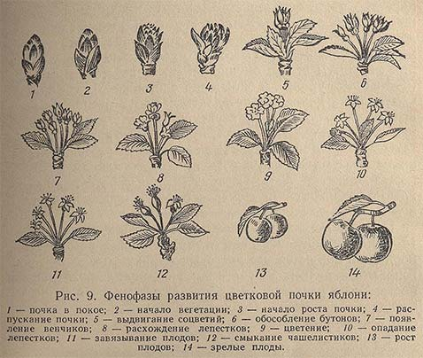 Период вегетации растений: что это такое, как определяется, сроки вегетации