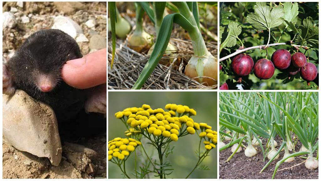 Растения репелленты - что это такое и как применять