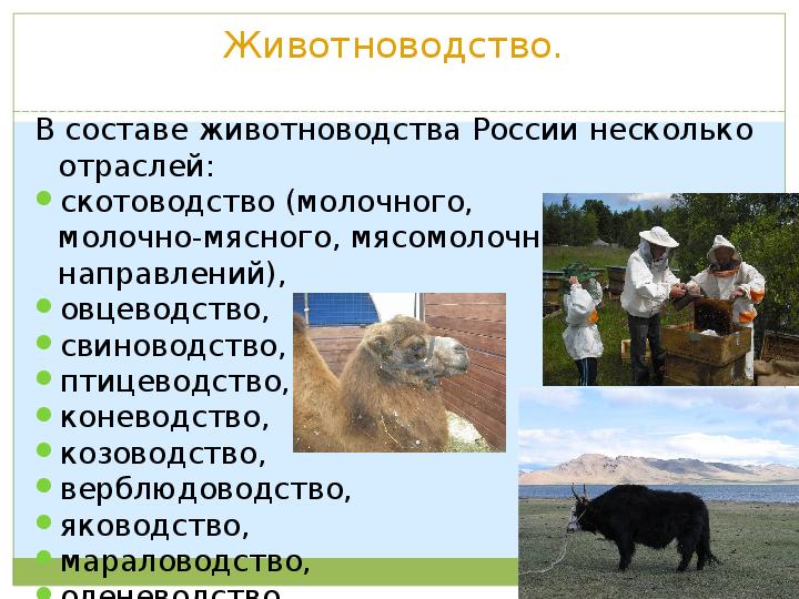 Животноводство - это животноводческая продукция, что это такое, отрасли в россии
