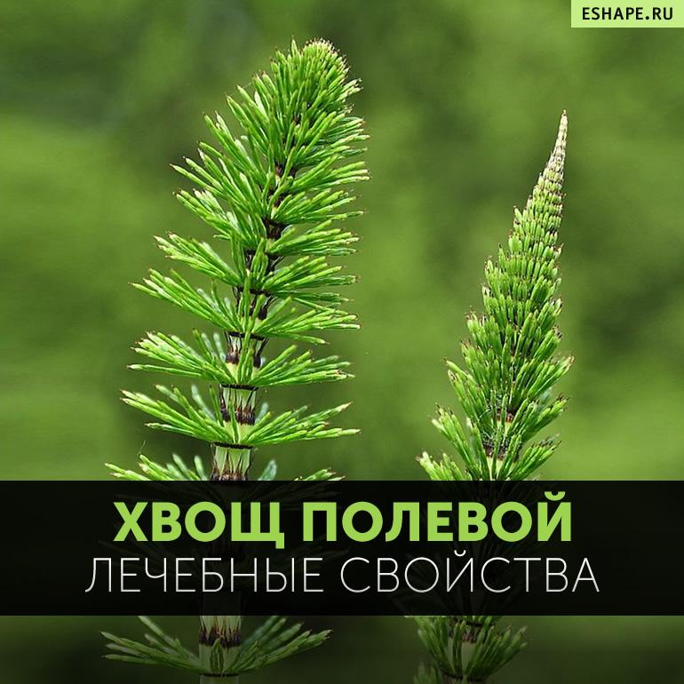Лечебные свойства, фото хвоща северного (полевого) и противопоказания