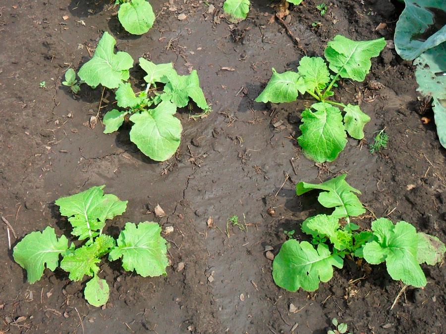 Все о брюкве: что это за овощ, где растет, какие встречаются сорта, как лечиться с ее помощью?