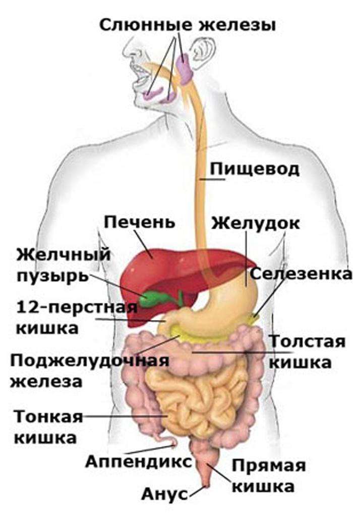Системы органов человека. органы и системы органов :: syl.ru