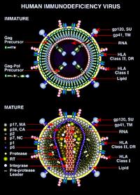 Спид – это конечная стадия развития вич-инфекции