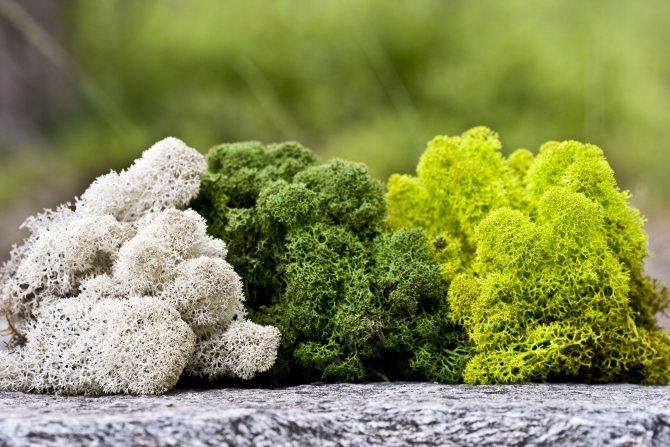 Олений мох: лечебные свойства