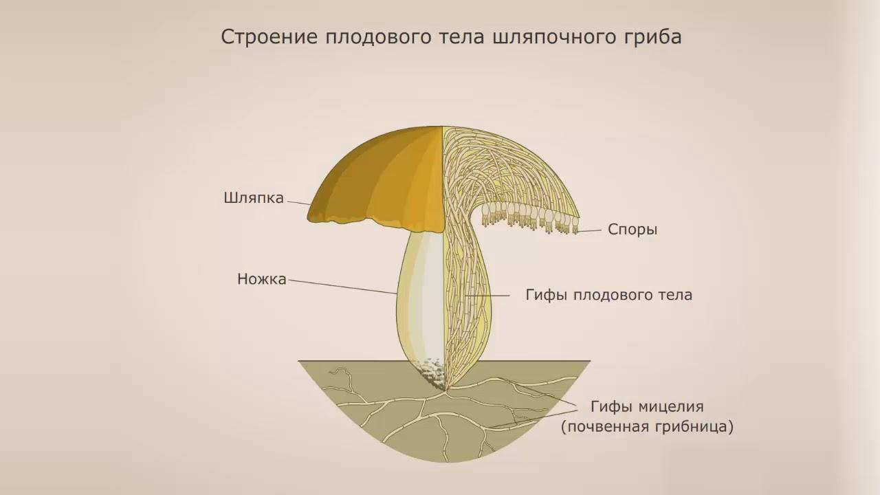 Что такое гифы: особенности строения грибов