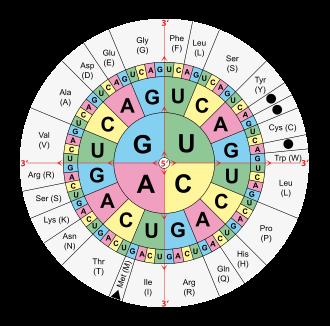 Что такое кодон? (генетика) / биология   thpanorama - сделайте себя лучше уже сегодня!