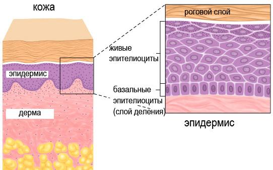 Эпидермис у растений