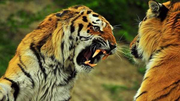 Тигр | описания и фото животных | некоммерческий учебно-познавательный интернет-портал зоогалактика