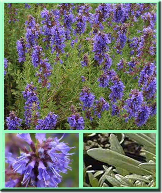 Трава иссоп: лечебные свойства, противопоказания и от чего помогает