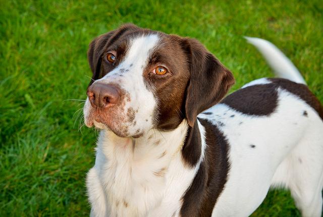 Течка у собак | сколько длится течка у собаки, как ведёт себя собака во время течки, о первой течки у собаки, как часто бывает течка и многое другое | сайт о маленьких собачках и не только