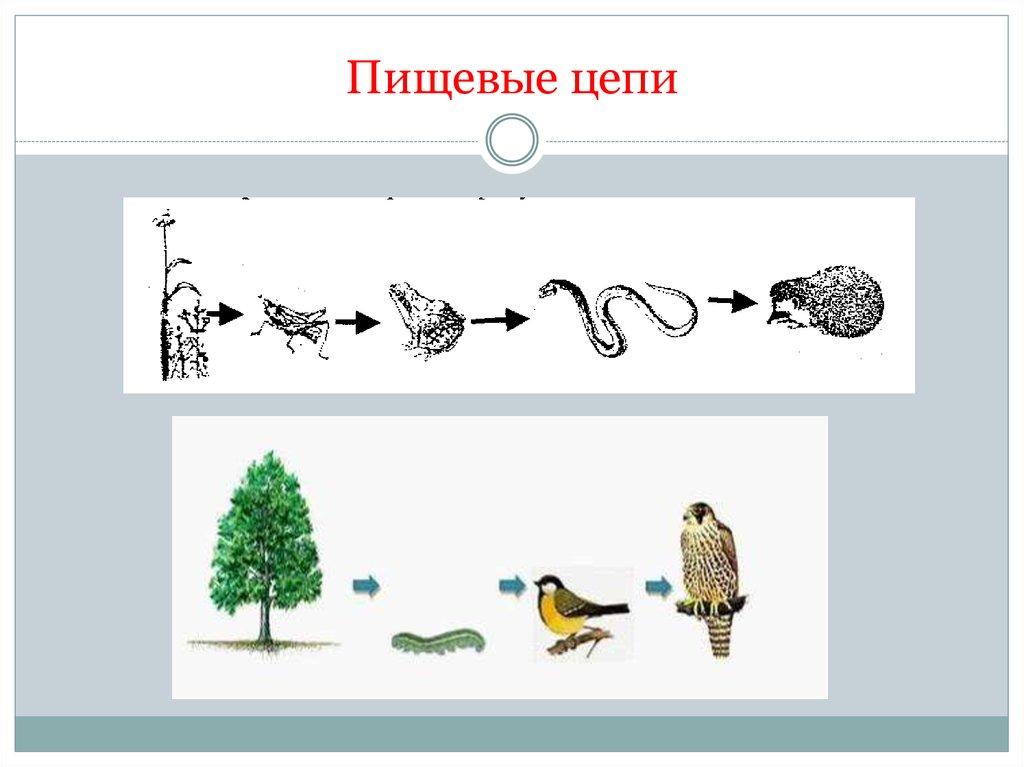 Типы и уровни пищевых цепей, примеры и биологическое значение трофических связей