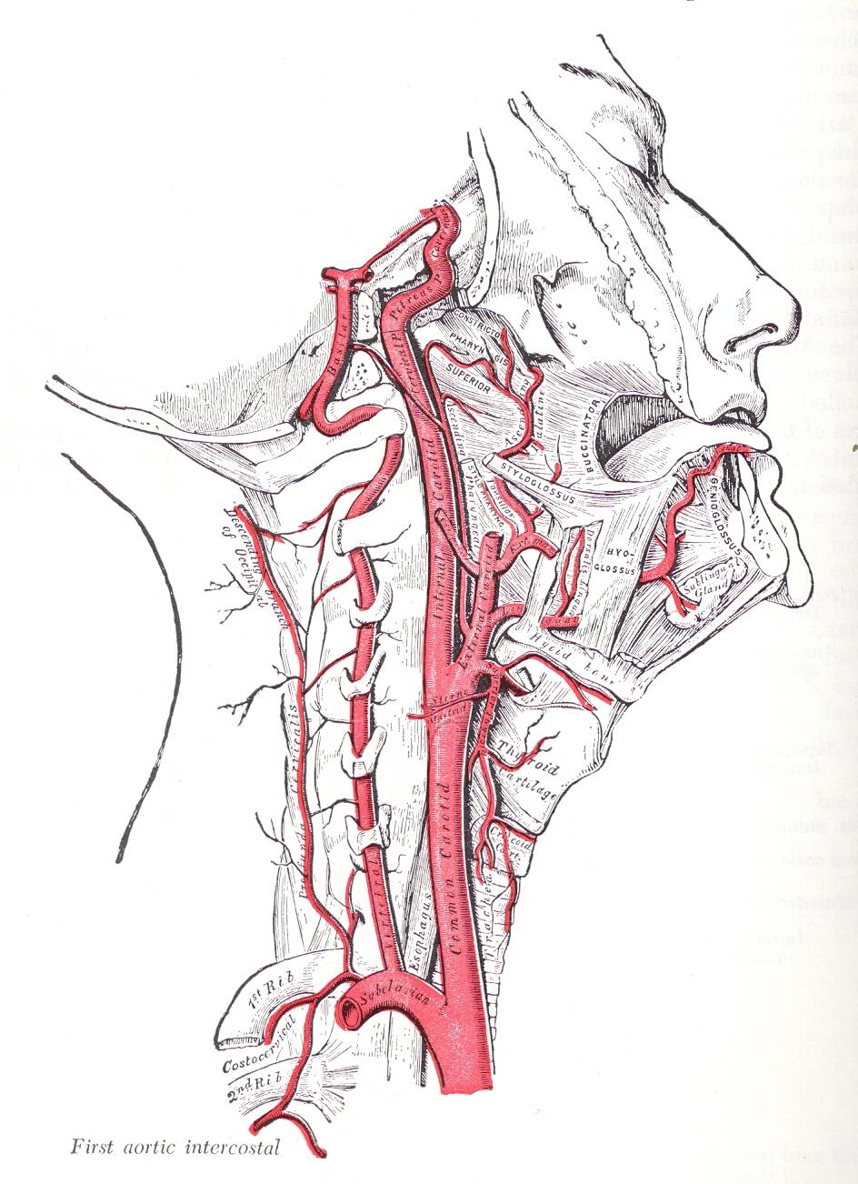 Гипоплазия правой позвоночной артерии: что это такое, причины и лечение
