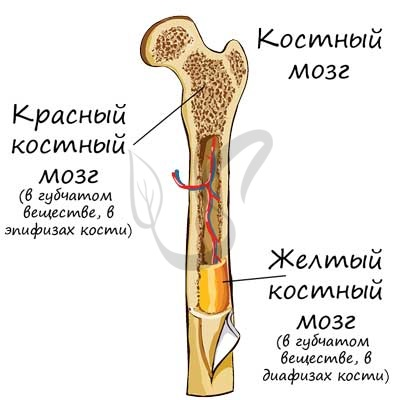 Красный костный мозг человека   анатомия красного костного мозга, строение, функции, картинки на eurolab