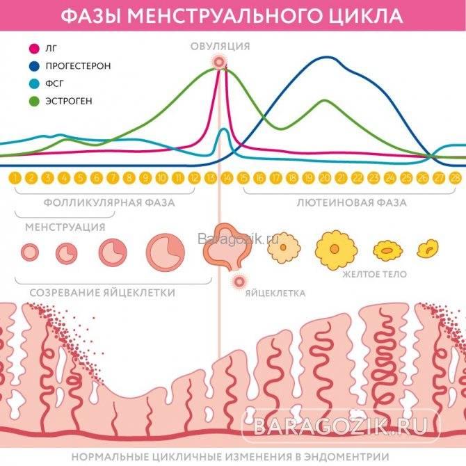 Лютеиновая фаза: что это, на какой день цикла наступает у женщин, что влиет на длительность, норма гормонов на этом этапе, можно ли забеременеть в эту фазу