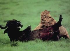 Хищничество. значение хищничества в природе