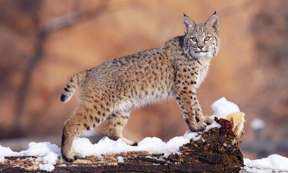 Рысь – хищник семейства кошачьих