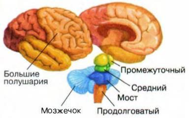 Мозжечок, его строение и функции