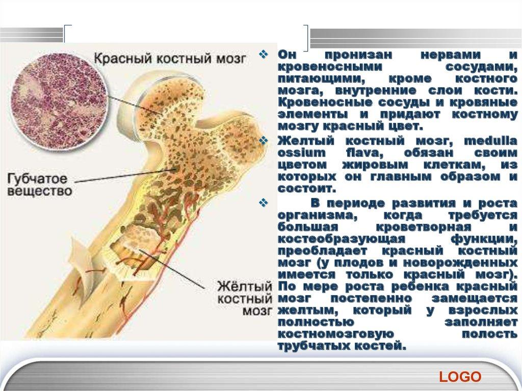 Костный мозг - bone marrow - qwe.wiki