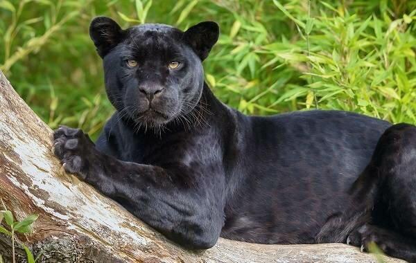Пантеры – описание, где живут, питание, размножение, враги, фото и видео  - «как и почему»