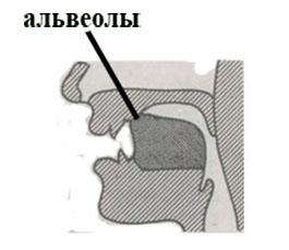 Что такое альвеолы во рту. где находятся альвеолы во рту? что такое альвеолы у человека