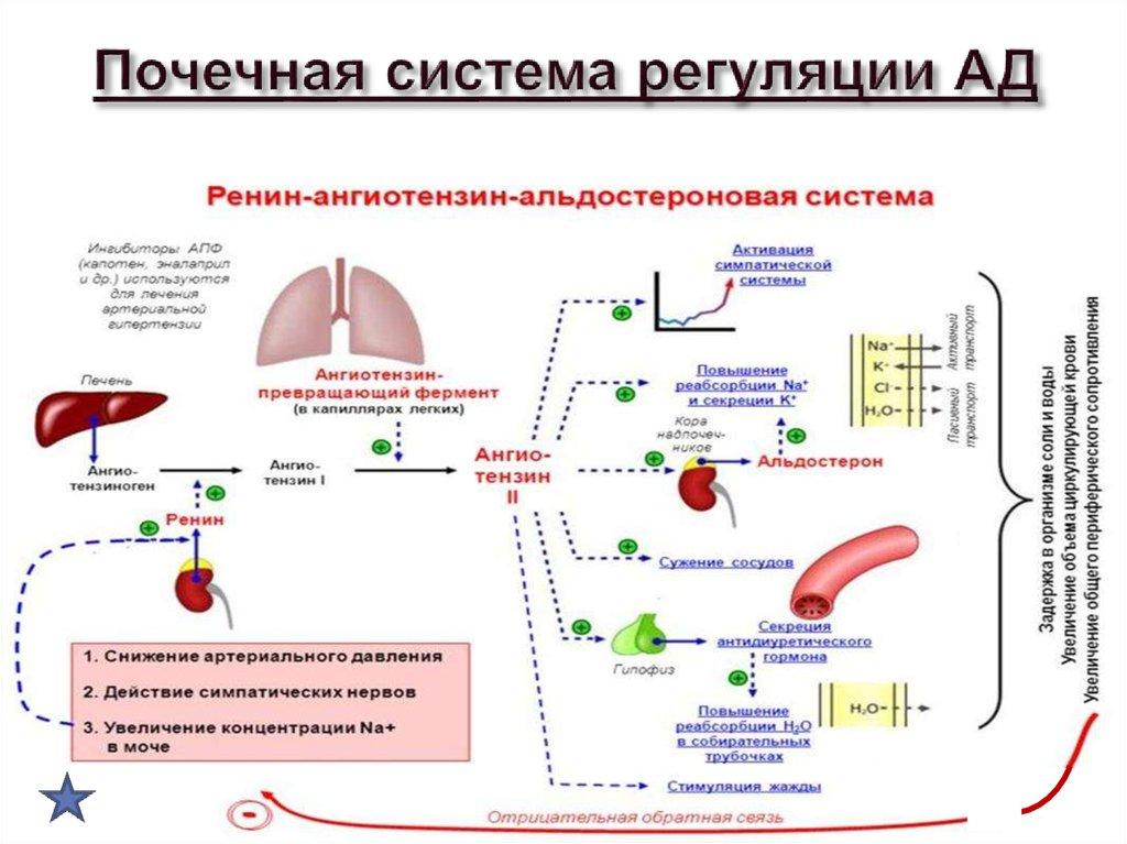 """Альдостерон   клинико-диагностические лаборатории """"олимп"""""""